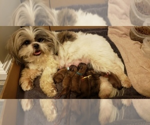 Shih Tzu Puppy for sale in CONROE, TX, USA