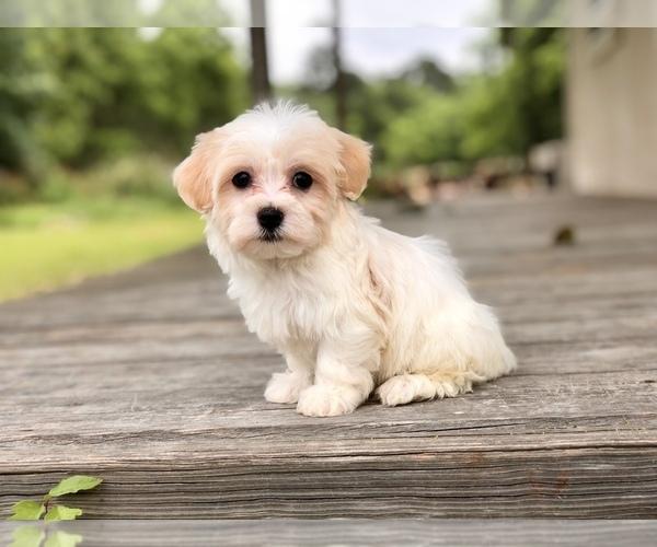 PuppyFinder com - View Ad: Photo #1 of Listing Havanese