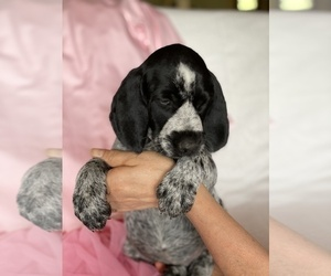 German Wirehaired Pointer Puppy for Sale in DEER RIVER, Minnesota USA