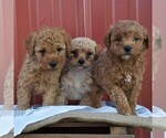 Small Photo #2 Poodle (Miniature) Puppy For Sale in WOODWARD, PA, USA
