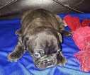 French Bulldog Puppy For Sale in ROCHESTER, MI, USA