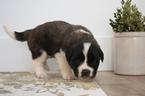 Saint Bernard Puppy For Sale in KENT, OH,