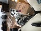 Border Collie Puppy For Sale in LINCOLN, NE, USA