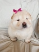 Chow Chow Puppy For Sale in CLIFTON, IL,