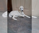 Small Photo #2 Poodle (Standard) Puppy For Sale in WAUSAUKEE, WI, USA