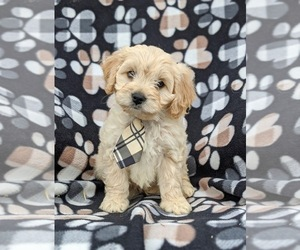 Cavachon Puppy for sale in AIRVILLE, PA, USA