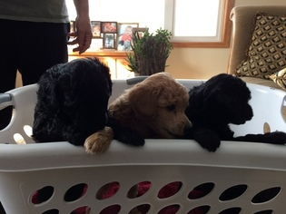 Poodle (Miniature) Puppy For Sale in PINE CITY, MN