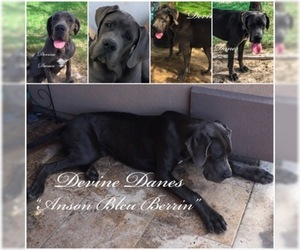 Father of the Great Dane puppies born on 08/14/2019