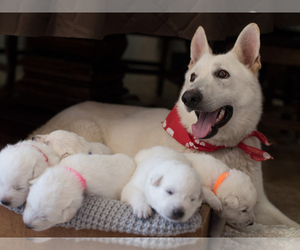 Mother of the German Shepherd Dog puppies born on 09/19/2020