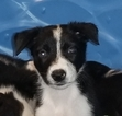 Border Collie Puppy For Sale in GROVELAND, FL,