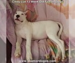 Small Photo #194 Dogo Argentino Puppy For Sale in PINEVILLE, MO, USA