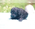 Small #7 Poodle (Standard)