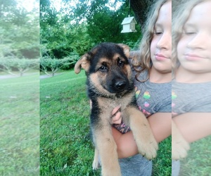 German Shepherd Dog Puppy for sale in LAWRENCEBURG, KY, USA