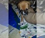 Small Photo #5 American Bulldog Puppy For Sale in DAVENPORT, IA, USA
