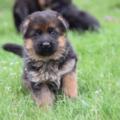 German Shepherd Dog Puppy For Sale in HIGH POINT, NC