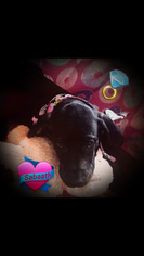 Great Dane Puppy For Sale in CARLYLE, IL, USA