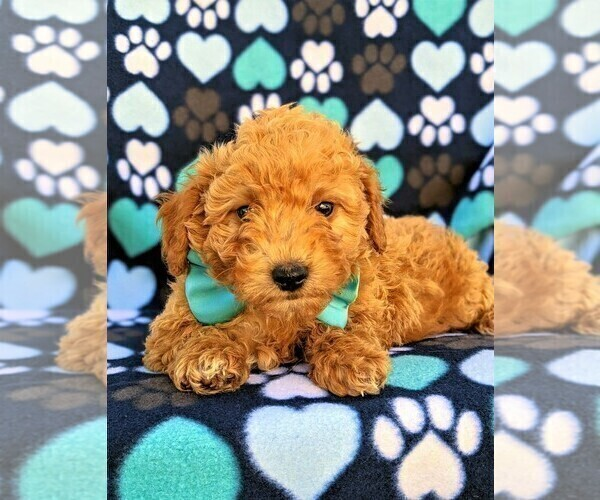 Medium Photo #5 Goldendoodle Puppy For Sale in LEOLA, PA, USA