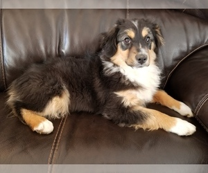 Miniature Australian Shepherd Dog for Adoption in DURANGO, Colorado USA