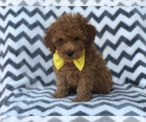 Double Doodle Puppy for sale in CEDAR LANE, PA, USA