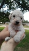 Goldendoodle Puppy For Sale in GRAHAM, TX,