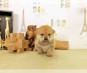 Shiba Inu Puppy for sale in HOLLYWOOD, CA, USA