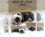Image preview for Ad Listing. Nickname: Black tri merle