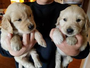Golden Retriever Puppy For Sale in TRIVOLI, IL