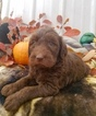 Labradoodle Puppy For Sale in MOUNTAIN HOME, AR, USA