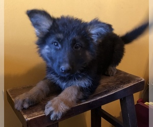 German Shepherd Dog Puppy for Sale in NORTH WICHITA, Kansas USA