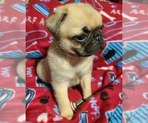 Pug Puppy for sale in MANGHAM, LA, USA