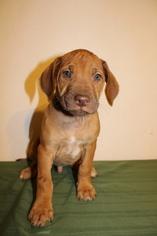 Rhodesian Ridgeback Puppy For Sale in GATE, WA, USA