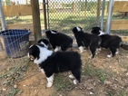 Australian Shepherd Puppy For Sale in HANCEVILLE, AL, USA
