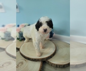 Bernedoodle-Goldendoodle Mix Puppy for sale in LAKE CITY, FL, USA