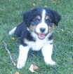 Miniature Australian Shepherd Puppy For Sale in CENTENNIAL, CO, USA