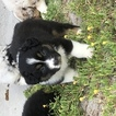Australian Shepherd Puppy For Sale in SAINT CLOUD, Florida,