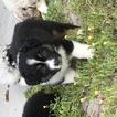 Australian Shepherd Puppy For Sale in SAINT CLOUD, FL, USA