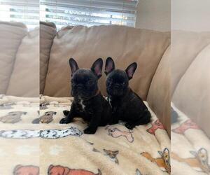 French Bulldog Puppy for Sale in ROSEVILLE, California USA