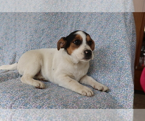 Mutt Puppy for sale in SHILOH, OH, USA