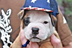Olde English Bulldogge Puppy For Sale in ROCHESTER, Minnesota,