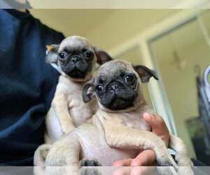 Pug Puppy for sale in SAN DIEGO, CA, USA