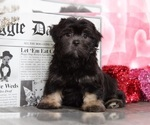 Cash Pretty Cool Lhasa Apso Puppy