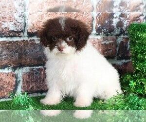 Shih-Poo Dog for Adoption in BEL AIR, Maryland USA