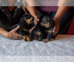 Rottweiler Puppy for sale in TUCSON, AZ, USA