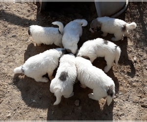 Great Pyrenees Puppy for sale in SAINT STEPHENS, WY, USA