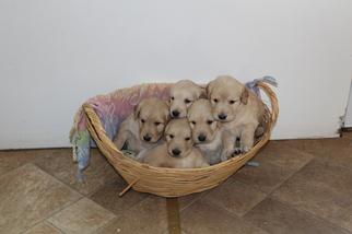 Golden Retriever Puppy For Sale near 81252, Westcliffe, CO, USA