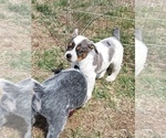 Puppy 2 Texas Heeler