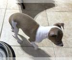 Small #7 Italian Greyhound