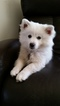 8 Month Old American Eskimo