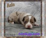Small Photo #3 Miniature Australian Shepherd Puppy For Sale in FORESTBURG, TX, USA