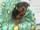Yorkshire Terrier Puppy For Sale in EPHRATA, PA, USA